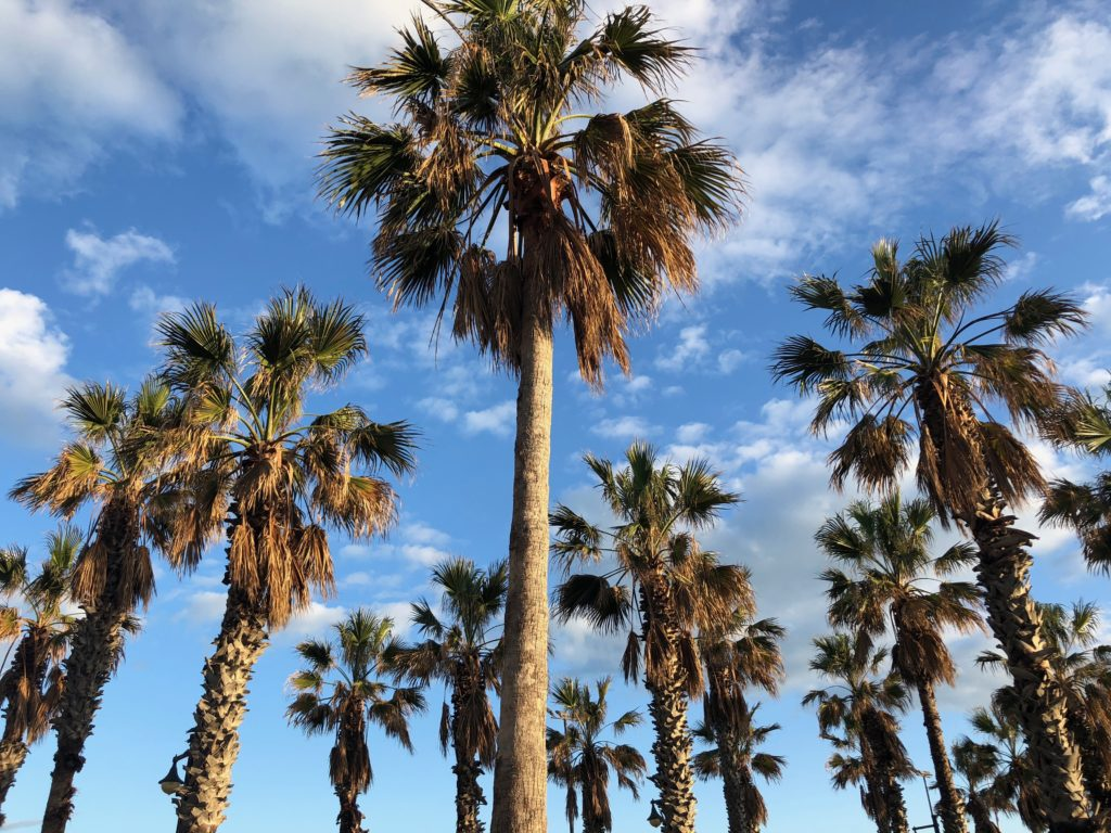 Valencia Palm Trees